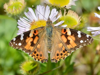 Painted Lady Butterfly Hengistbury Head