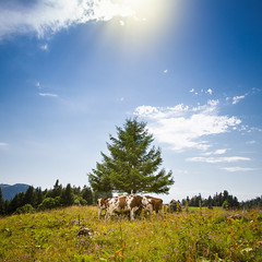 Cows (Zeeyolq Photography) Tags: alpage cow cows jura nature shadow sky sun switzerland tree vaches arzierlemuids vaud suisse ch