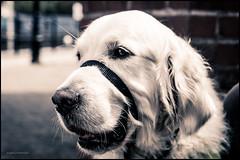 Laurie the guide dog (G. Postlethwaite esq.) Tags: dof devon somerset sonya7mkii sonyalphadslr watchet beyondbokeh bokeh depthoffield dog fullframe guidedog mirrorless photoborder portrait selectivefocus