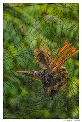 GyeRyong - WonJeong (wrpugsley) Tags: korea korean southkorea bird country dead net rural 대전서구봉곡동