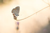 Polyommatus icarus (Evren Unal Photography) Tags: carlzeiss zeiss touit2850m 50mm 50m macro closeup bokeh color colors fujifilm nature artnature photography turkey spring sun sunset sunlight alone art bugs bug insect insects summer dof deep depth field ngc animal outdoor plant blossom flower grass natureart minimal minimalism minimalist minimalmacro minimalnature minimalart mini red smallbug landscape white background xt2 fujifilmxt2 7dwf