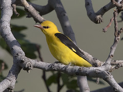 _9172 Golden Oriole (Dave @ Catchlight Images) Tags: nature oriole golden greece wildlife islands lemnos canon