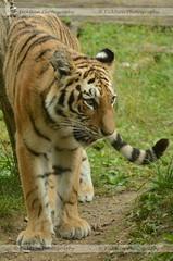 Adolescent Amur Tiger (ficktionphotography) Tags: amurtiger siberiantiger tiger bigcat zoophotography bronxzoo animal wildanimal feline