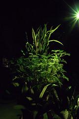 _MG_1894.CR2 (jalexartis) Tags: sansevieriatrifasciata motherinlaw'stongue citronella afterdark dark nightphotography night nightshots camranger lighting gardening cedarfarms