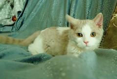 Néo (Antiphane) Tags: chat cat kitten chaton selkirk rex blanc lilas white lilac