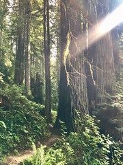 Redwood forest (followmychallenge) Tags: