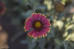Mostrando su color (pedroramfra91) Tags: verano summer flor flower jardín garden exteriores outdoors bokeh
