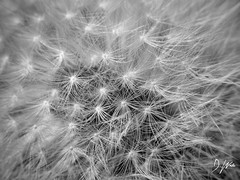 Dandelion Seeds (domwlive) Tags: countydurham dandelion dandelionclock garden macro macrolensfilter northeastengland peterlee plants seeds summer august england unitedkingdom gb