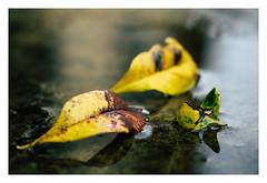 Early signs of autumn (Eckehard Straßweg) Tags: fujifilmxt2 fujinonlens herbst regen nature natur outdoor laub leave rain water wasser herbstlaub autumncolors autumnleaves