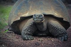 Galapagos Santa Cruz Giant Tortoise (pbmultimedia5) Tags: santa cruz giant tortoise galapagos national park ecuador island wildlife pbmultimedia wild ngc