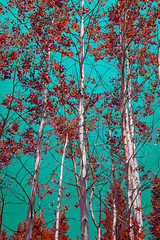 Funky Sky & Aspens (Grand Teton National Park) (Kᵉⁿ Lᵃⁿᵉ) Tags: beavercreek geo:lat=4369916547 geo:lon=11073724418 geotagged moose unitedstates usa adventure aspentrees aspens colorshift explore exploring grandtetonnationalpark hiking httpsenwikipediaorgwikigrandtetonnationalpark nationalpark nationalparkservice naturalwonder nature nikon nikond800 outdoor scenic scenicspot scenicview sky spring spring2017 tetoncounty tourism touristattraction travel travelblog travelblogphoto travelphoto travelphotography travelingadventures tree trees treescape usnationalpark usnationalparkservice unitedstatesnationalpark wonderfultrees worldadventures worldtravel wy wyoming