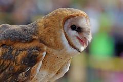 Barn Owl (brian.bemmels) Tags: tyto alba tytoalba barn owl barnowl richmond bc britishcolumbia canada richmondraptorfestival 2017 terranovapark