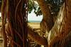 dsc01669 (space lama) Tags: moretonbayfig banyan tree roots ocean