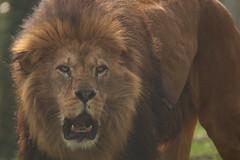 African Lion (charliejb) Tags: africanlion african lion bigcat dartmoorzoo dartmoor 2017 devon wildlife carnivore fur furry furred mane feline cat