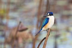 Forest Kingfisher (christinaportphotography) Tags: forestkingfisher todiramphusmacleayii kingfisher tytowetlands ingham fnq queensland australia bird birds wild free lotus bokeh dof pose
