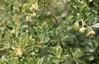 Pittosporum white flowered, Tresco (Mary Gillham Archive Project) Tags: england pittosporum planttree scillies tresco 74435