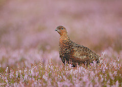 Red Grouse Lagopus lagopus scotica (Iain Leach) Tags: birdphotography wildlifephotography photograph image wildlife nature iainhleach wwwiainleachphotographycom canon canoncameras photography canon1dxmk2 canon5dmk4 beauty beautiful beautyinnature macro macrophotography closeup redgrouse lagopuslagopusscotica willowgrouse