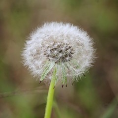 Taraxacum (valentinamattarozzi) Tags: blow taraxacum flowers green white picoftheday nature