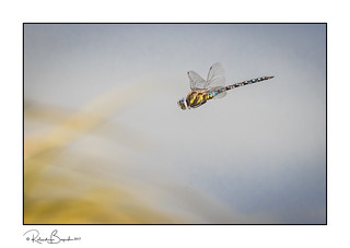 Common Hawker dragonfly hunting in the reeds (Aeshna juncea)