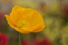 Yellow Poppy (Stefan Zwi.) Tags: mohn poppy poppies blume flower yellow gelb ngc npc