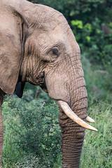 Portrait of african elephant in Pillanesberg, South Africa (Knud Hald) Tags: knudhald limpopo outdoor pilanesberg pilanesbergsouthafrica2017 safari southafrica wildlife fauna canon canon6d canonef400mmf56lusm ef400mmf56lusm africanelephant elephant animal animaladdiction animalwarior animallover bigfive beautiful grey ngc