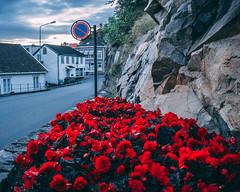 Red flowers (SkolandPhotostudio) Tags: roses red flower flowers street blue grimstad