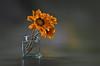 For you (hequebaeza) Tags: naturalezamuerta stilllife gazania rigens gazaniarigens flor flower pétalos petals nikon d5100 nikond5100 ebcfujinon1450mm fujinon 50mm m42 hequebaeza