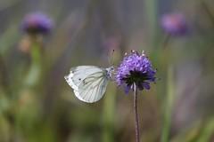 Sensation de Plénitude (Callie-02) Tags: insecte nature phinoudoud callie pelouse plante jardin extérieur canon profondeurdechamp macro pastels couleurs papillon fleur