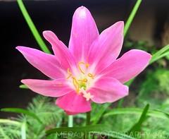 IN THE GARDEN. (Meraj.) Tags: depth iphone6s iphonephotography iphone natural nature naturenatural nikonflickraward nikonphotography nikon outdoor park flowers pink colours colour beautiful garden macro flower bokeh