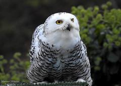 Coruja-das-neves (Nyctea scandiaca) (Marina CRibeiro) Tags: portugal mirandadodouro coruja owl avenocturna avederapina rapace ave bird