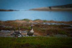 Geese (leffi333) Tags: dønna helgeland norway