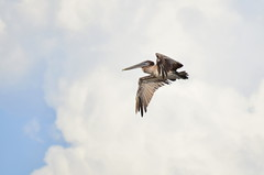 Brown Pelican - Gulf of Mexico (Marsh, D.) Tags: pelecanusoccidentalis brownpelicans pelican gulfofmexico thegulf shorebirds pelicans birds water baldpointstatepark franklincounty florida beach nikond5100 marshd nature naturephotography wildlife wildlifephotography