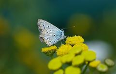 Common blue - Icarus blauwtje (joeke pieters) Tags: 1350805 panasonicdmcfz150 blauuwtje icarusblauwtje commonblue vlinder butterfly schmetterling papillon boerenwormkruid tansy bokeh