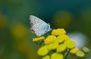 Common blue - Icarus blauwtje