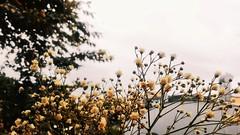 Letters to winter ❄ (Lemon Mousse!) Tags: mosquitinho flor littleflowers flowers brasil september 2017 greyskies greysky