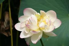 Lotus (eyriel) Tags: flower pond garden nature open macro bokeh