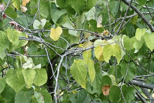 Black-throated Green Warbler, Virginia