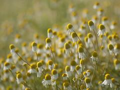 Multitude ***-- °-°-° (Titole) Tags: camomille camomile flowers many shallowdof titole nicolefaton yellow diamondsaward thechallengefactory gamex2 challengeyouwinner storybookttwwinner