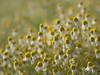 Multitude **--- °---° (Titole) Tags: camomille camomile flowers many shallowdof titole nicolefaton yellow diamondsaward gamewinner thechallengefactory