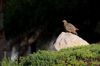 Francolin gris - Al Mamzar Park/Charjah/UAE_20170120_006-1