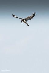 500_3082.jpg (Laurent LALLEMAND) Tags: kenya coraciiformes continentsetpays afrique baringo oiseaux alcedinidae alcyonpie piedkingfisher martinpêcheurpie cerylerudis africa ke ken