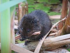 Water Vole (mr_snipsnap) Tags: water vole mammal nature wildlife fauna