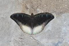 Auzakia danava albomarginata (Pasha Kirillov) Tags: indonesia geo:country=indonesia sumatra gunungleuser kedah nymphalidae taxonomy:family=nymphalidae lepidoptera taxonomy:order=lepidoptera butterfly