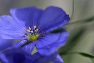 Lin flower / Fleur de lin