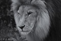 Lion 001 (letexierpatrick) Tags: france animal nikon nikond7000 nature noir monochrome zoo animalier portrait blanc gris noirblanc lion félin