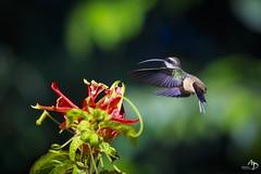 Hummingbird (alain_did) Tags: guyane amazonie forêt canoneos6d ef70200mmf4lisusm nature beauté couleurs plumes vol