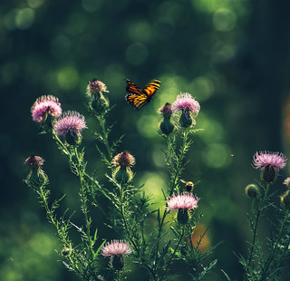 monarch, bumblebee, and thistle