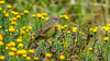 Orange-crowned Warbler [Explored] (Bob Gunderson) Tags: birds botanicalgardens california goldengatepark northerncalifornia orangecrownedwarbler oreothlypiscelata sanfrancisco warblers woodwarblers