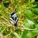 Chinspot Batis (Batis molitor), female