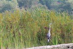 aIMG_9904 (hottmoose) Tags: darlingtonprovincialpark ontario crane birds wildlife nature